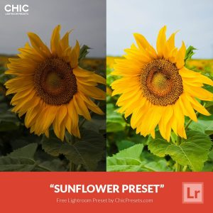 Free-Lightroom-Preset-Sunflower