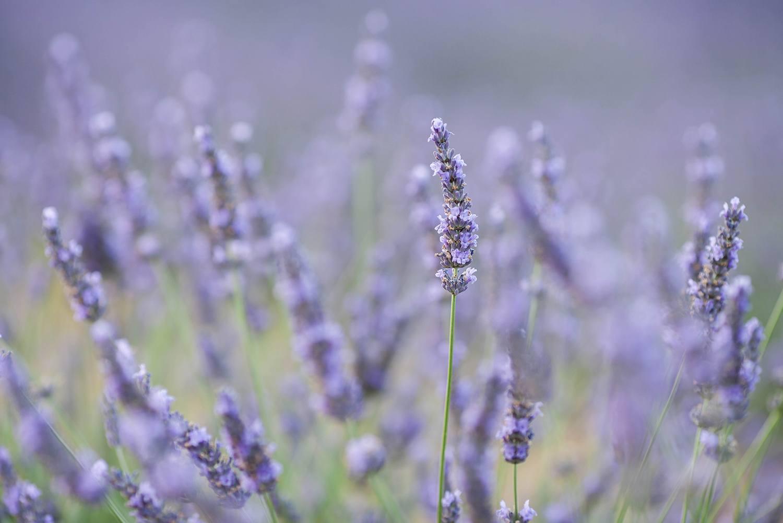 Free Lightroom Preset Lavender Fields Download Now
